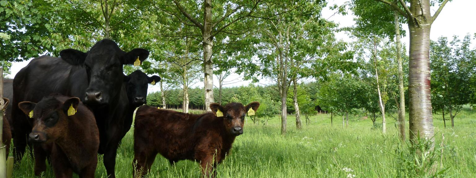 Aberdeen Angus cattle in farm woodland in Fife