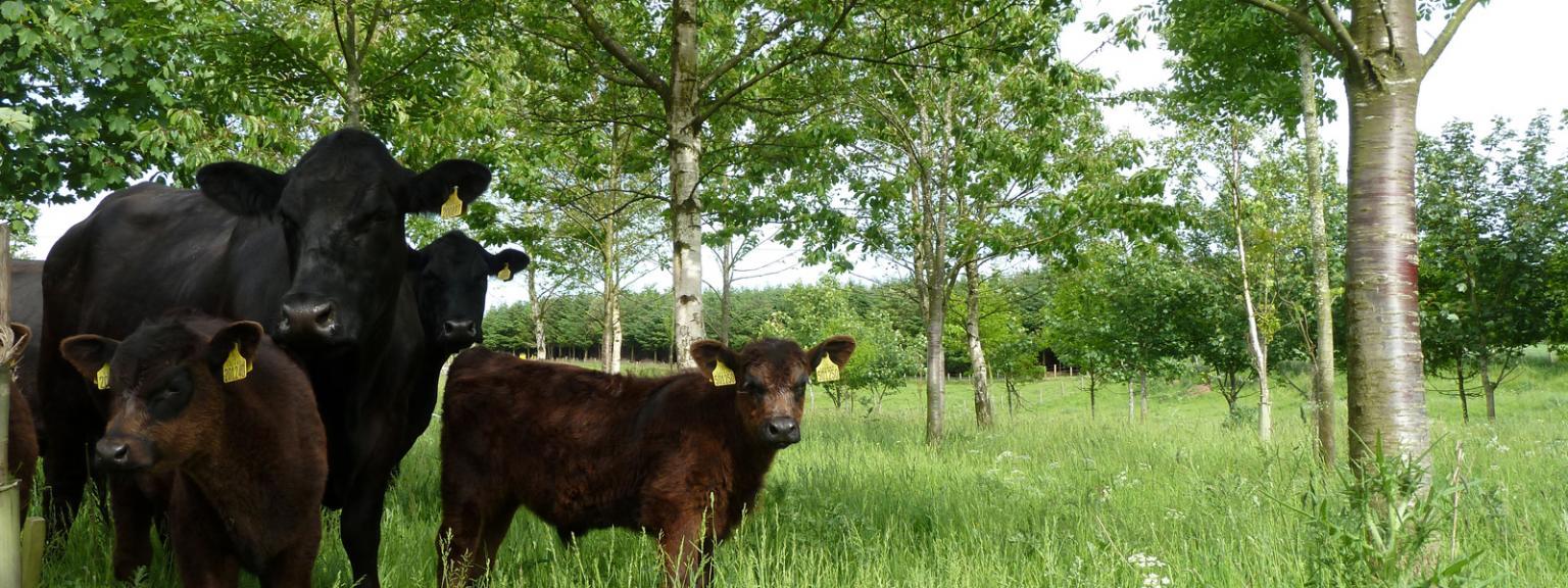Aberdeen Angus cattle in farm woodland in Fife