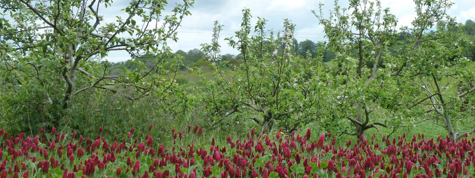 Crimson clover and apple trees at Shillingford Organics, Exeter