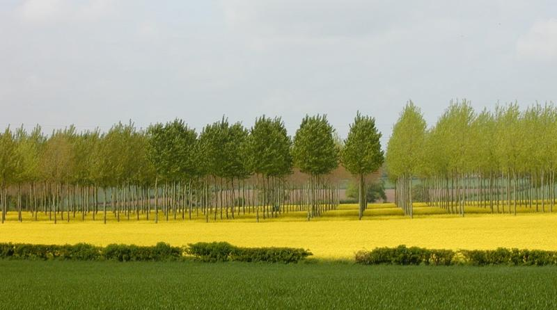 Silvoarable agroforestry with poplars