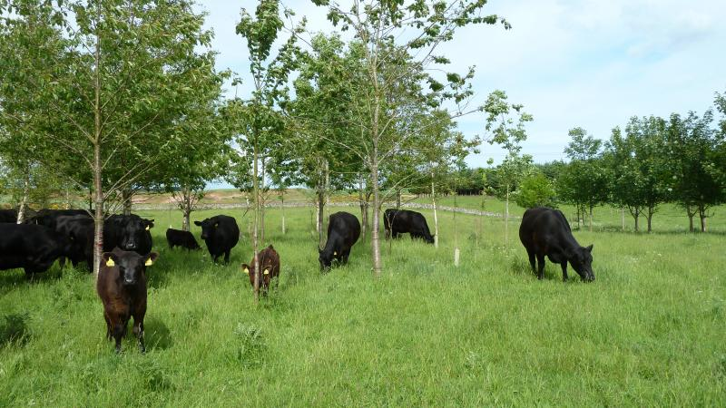 Farm woodland with cattle