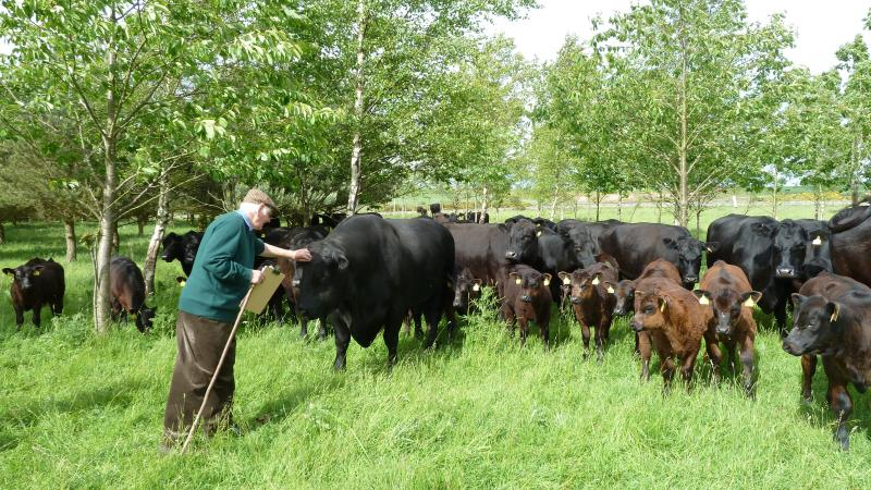 Farm woodland with Aberdeen Angus cattle