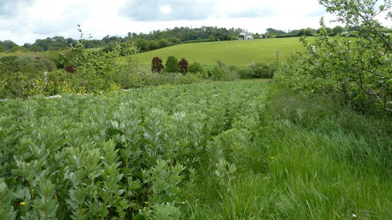 Silvoarable agroforestry with apple and broad beans