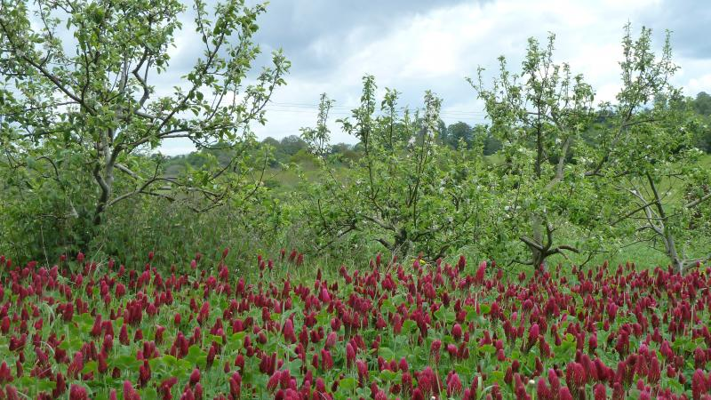 Agroforestry plot with crimson clover